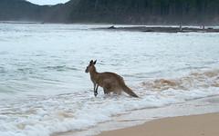 Pebbly Beach, Australia. photo by Corey Hamilton