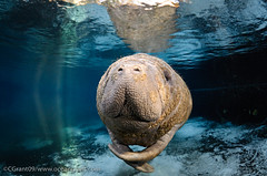 Manatee_In_Light_22 photo by oceangrant
