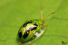 Green Turtoise Beetle photo by Carlos C. Palma