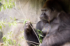 Gorilla Lunch photo by ~Life by the Drop~