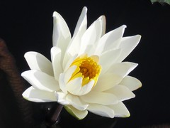 Waterlily: White