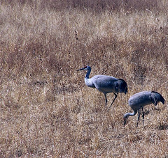 Sandhill cranes at Bosque del Apache 1