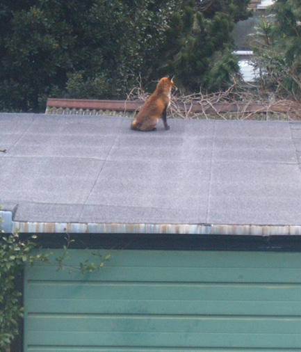 Fox on my Garage 2