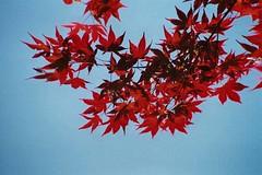 Czerwone liscie