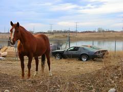 Horse and Camaros