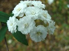 spring blooms: Spirea