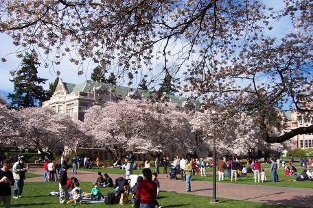 樱花开了伴奏_华盛顿大学里的樱花