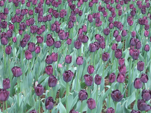 purple_tulips_1