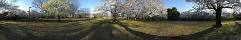 Cherry Blossom - Panorama 7