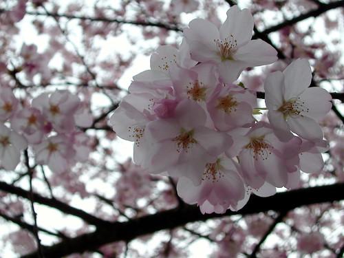 April Fools Cherry Blossoms