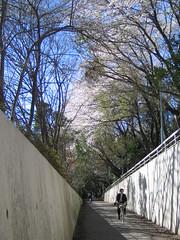 Sakura in Tsukuba