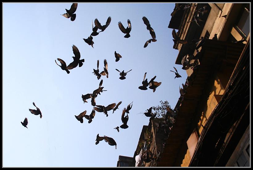 Kolkata Pigeon