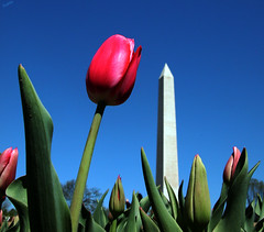 Tulip and the Monument