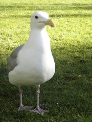 gull_up_close