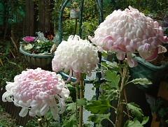 昨年の菊にピンクがさす