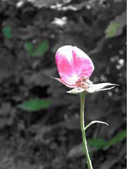 rose 161105