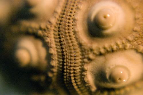 Shell Artemis Ephesia