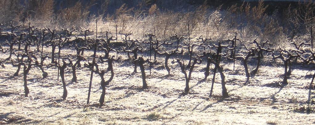 ived vines