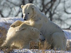 Polar Bear Play Time
