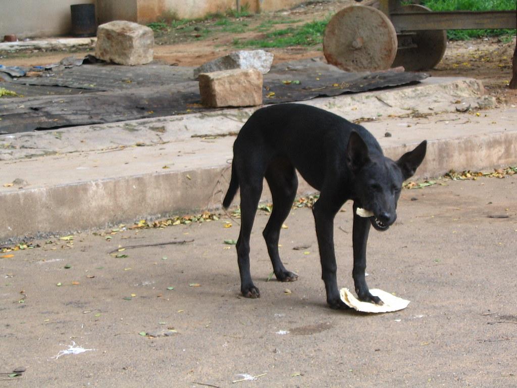 Black dog eating chapathi