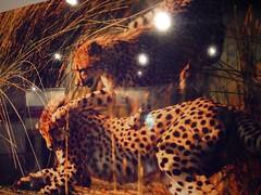国家地理展览 猎豹的生活