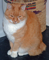 And so does Spike, an orange manx.
