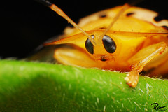 Turtoise Beetle Yellow Upclose photo by Carlos C. Palma