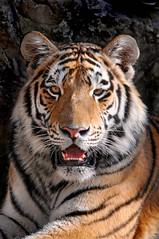 Resting young Siberian tiger photo by Tambako the Jaguar