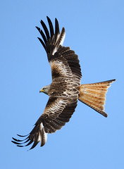 Red kite [Explored] photo by amylewis.lincs