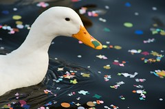 ... Duck and Carnival  !!! Musk goose! photo by domenicosavi photographer