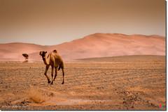 Desert camel photo by ¡arturii!