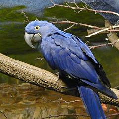 Hyacinth Macaw photo by njchow82