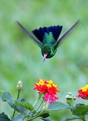 Beija-flor - Colibri - Besourinho-de-bico-vermelho - Chlorostilbon lucidus photo by claudio.marcio2