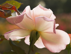 Pink Rose photo by Anna Calvert Photography