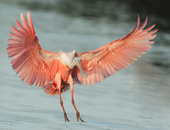 Roseate spoonbill landing photo by michaelrosenbaum