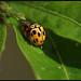 Fourteen-spotted Lady Beetle - פרופילאת השתיים-עשרה