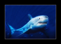 Shark photo by janetfo747 New-Nice As It Gets