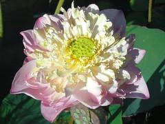 Lotus: Pink