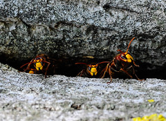 Vespa crabro Linnaeus photo by Umberto Bellitto