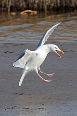 herring gull (Explored) photo by DODO 1959