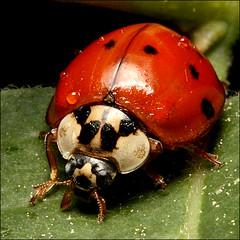 ~ LadyBug ~ photo by ViaMoi