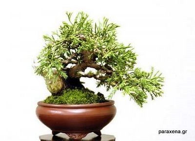 bonsai-trees-04