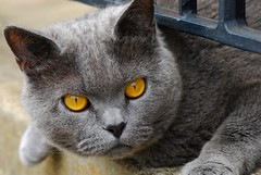 Neighbour's grey cat photo by natureloving