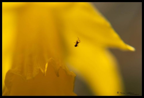 Spider on daffodil