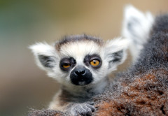 Baby Ring tailed lemur photo by floridapfe