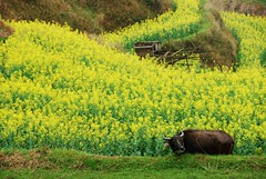 Canola field 油菜花田 photo by Melinda ^..^