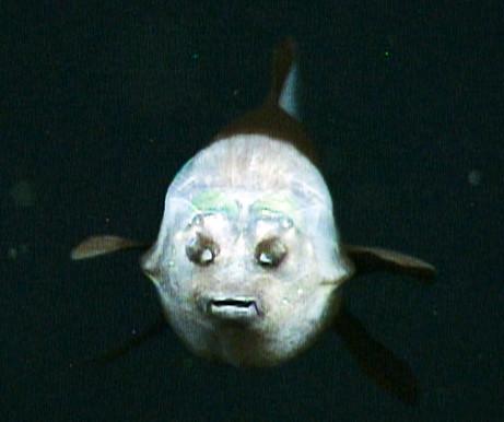 090223-04-fish-transparent-head-barreleye-pictures_big