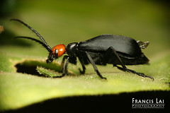 Blister Beetle photo by FrancisLAI / 徳利