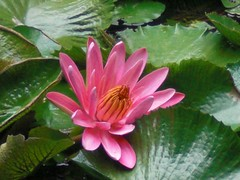 Waterlily: Pink: The Contrast of pink and green
