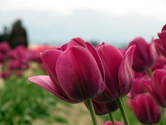 Tulips photo by UpmaSharma